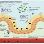 Intestinal Alkaline Phosphatase is Found on the Cells that Line the Gut as Well as Inside the Gut and the Gut Immune Cells, source: https://www.ncbi.nlm.nih.gov/pubmed/25400448