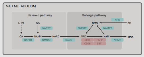 Different pathways that produce NAD+, source: https://www.ncbi.nlm.nih.gov/pubmed/24988458