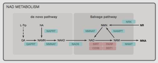 Different pathways that produce NAD+, source: https://www.ncbi.nlm.nih.gov/pubmed/24988458