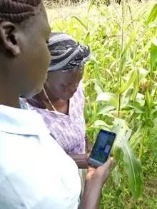 Rosalind and Emiliana inspect maize damage using the Nuru AI app.