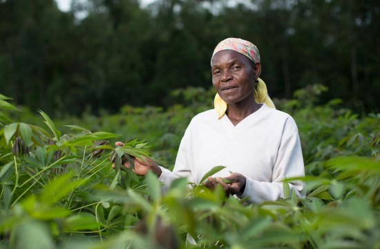 CASSAVA YIELDS INCREASE IN KENYA