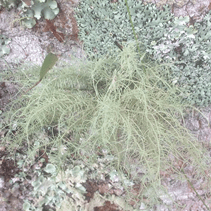 Making Home Remedies - Usnea @ selfhelp retreat | Springbrook | Queensland | Australia