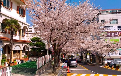 Street outside my academy in full cherry blossom. This was one of the nicest areas in Masan and Changwon, for my money.