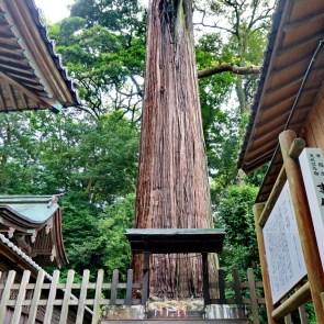 Tall cedar in shrine near Kakegawa