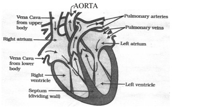 Section view of the Human Heart