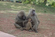 Monkeys at Mole