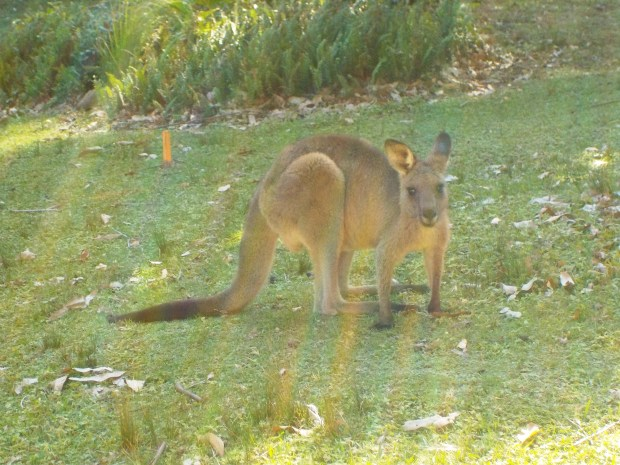 curious wild wallaby