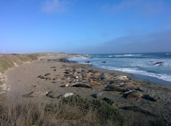 Checking out elephant seals at the rookery.