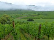 Joli lever de brume dans le vignoble au petit matin.