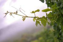 Réveil brumeux dans les vignes alsaciennes.