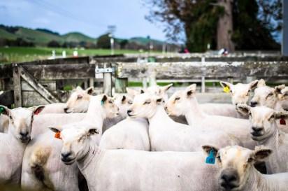 Brebis post shearing