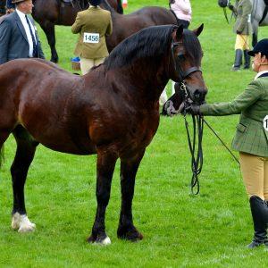 Northwick Notorious. Welsh Cob Stallion.