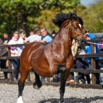 *LEASE AGREED IN 48 HOURS* Tireve Typhoon. Welsh Cob Section D Stallion.