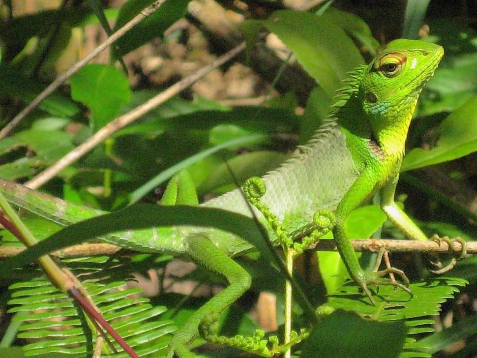 Foto van groen reptiel in het oerbos van Sri Lanka.