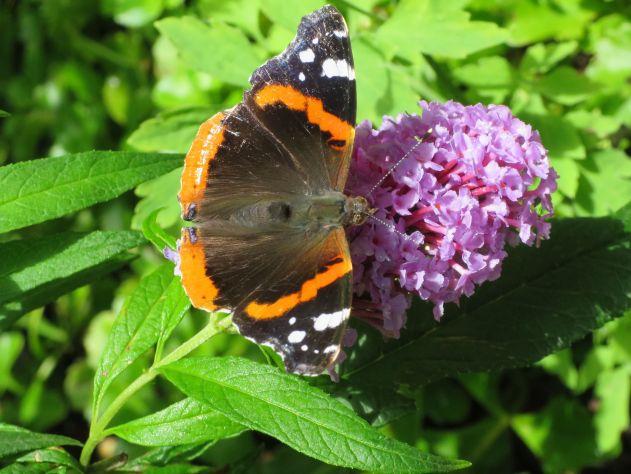 Foto van een atalanta-vlinder.