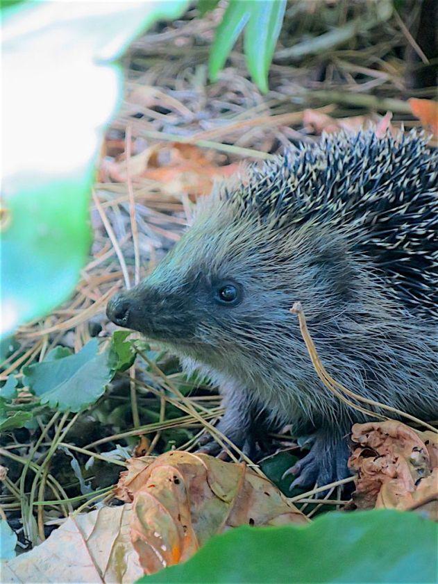 Foto van Keesje de Egel die soms mijn tuin bezoekt.