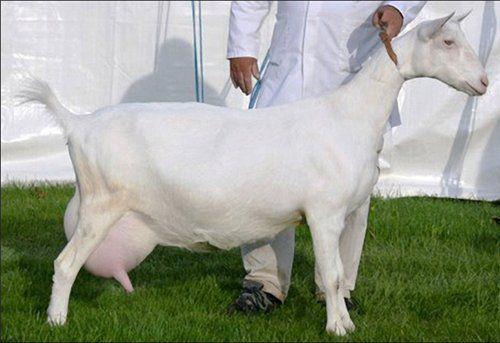 motive de pierdere în greutate la capre