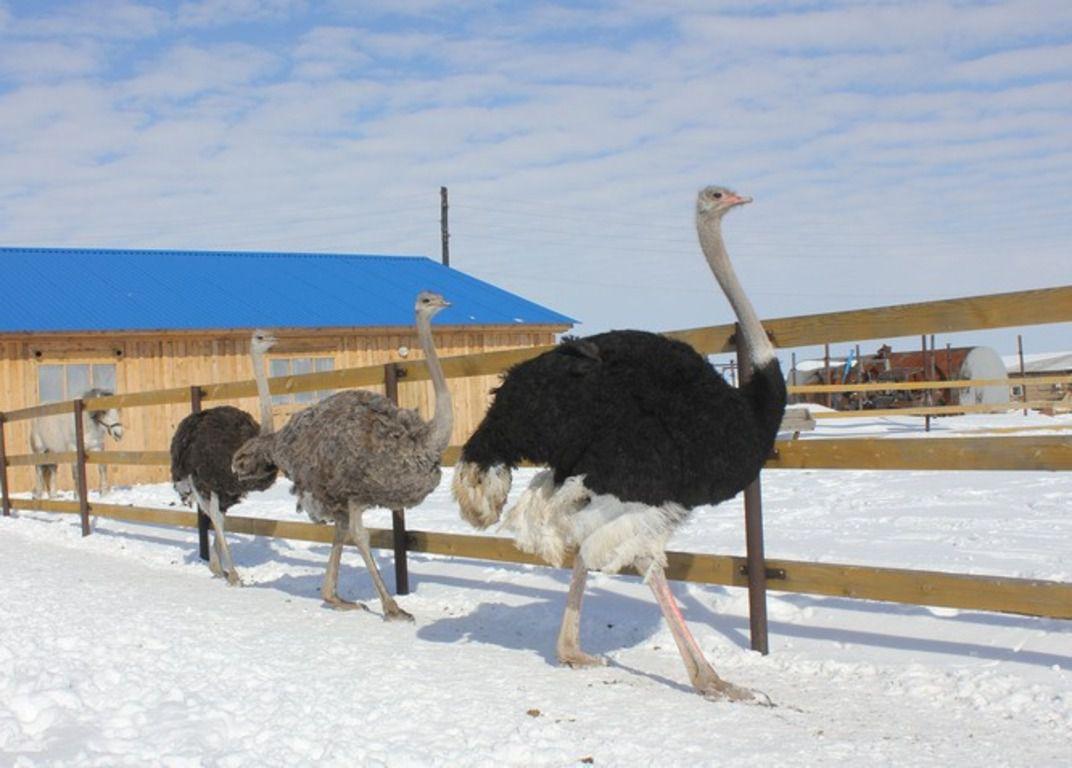 этой фото страусов в дом условиях чувствует рост производства