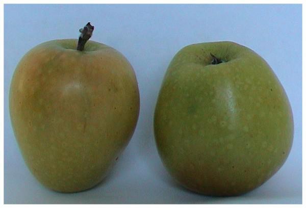 Сорт яблони россошанское вкусное. Описание сорта яблони Россошанское Вкусное (Изумительное), выращивание и уход. Какие есть разновидности