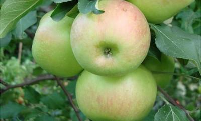 Память черненко яблоня описание