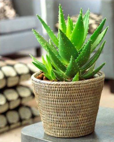 Aloe segít a prosztatitisből Kamilla és prosztatitis