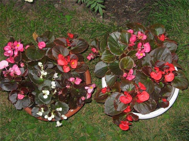 Begonia-Senatore Deep Rose f1-50 Semi