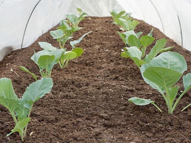 Брокколи на подмосковных огородах как посадить и вырастить витаминную капусту