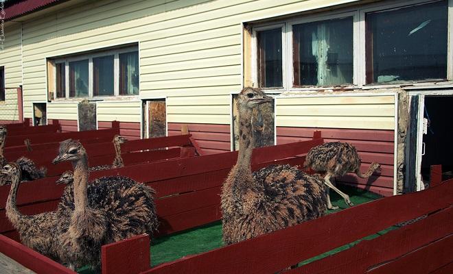 Разведение фазанов в домашних условиях как бизнес бизнес-план