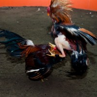 Pelea de Gallos en Lima