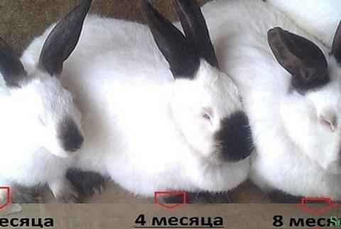 Откорм кроликов в домашних условиях