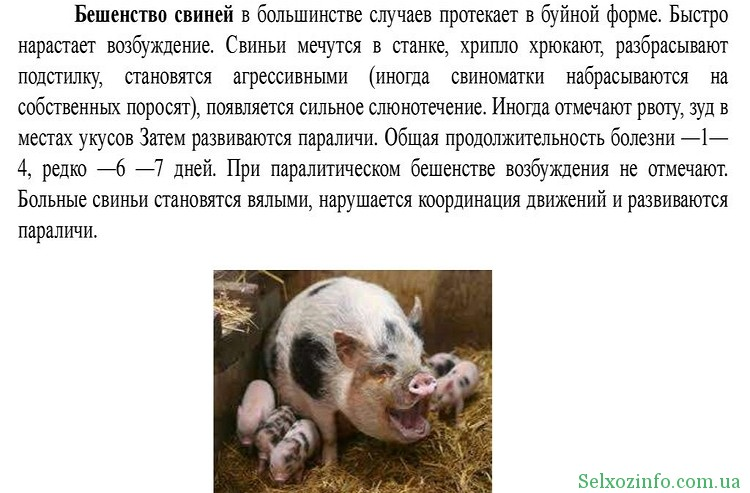 Бешенство свиней: симптомы и лечение