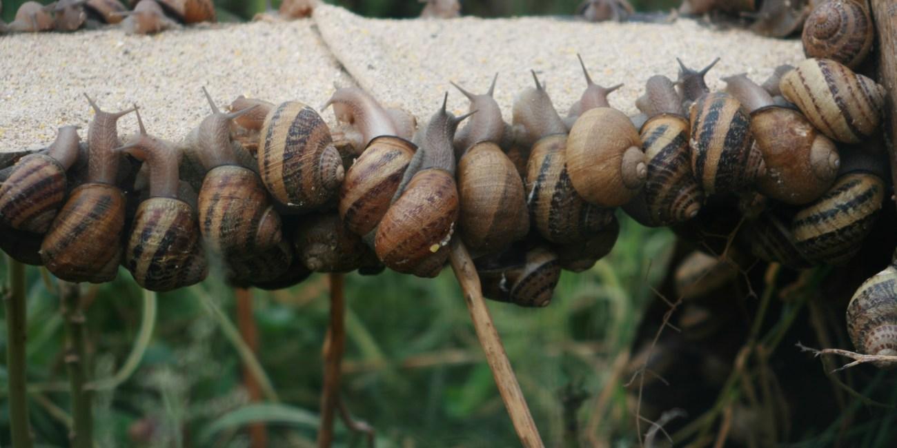 Escargot de comper ©MDelorme