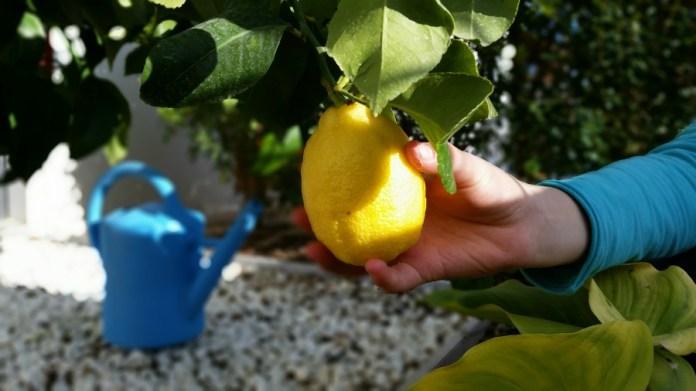 niña recoge limón