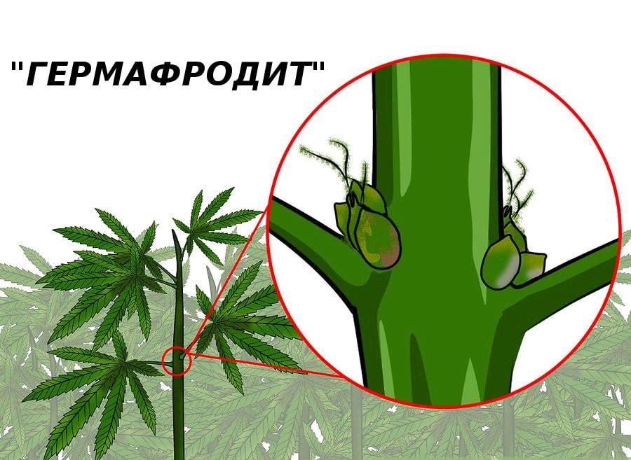Как отличить коноплю по полу как пронести в самолет марихуану