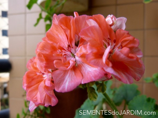 Gerânio - Pelargonium Hortorum