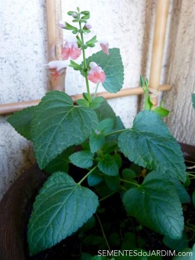 Salvia Coral - Salvia Coccinea