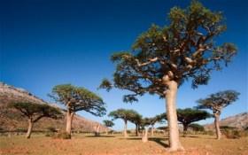 semestafakta-Frankincense Tree