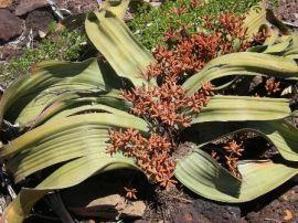 semestafakta- Welwitschia Mirabilis2