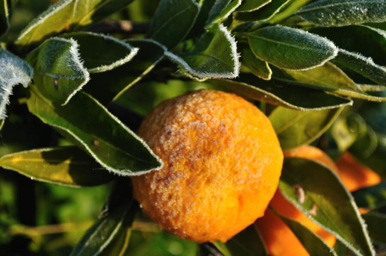 Citrus fruit with frost damage