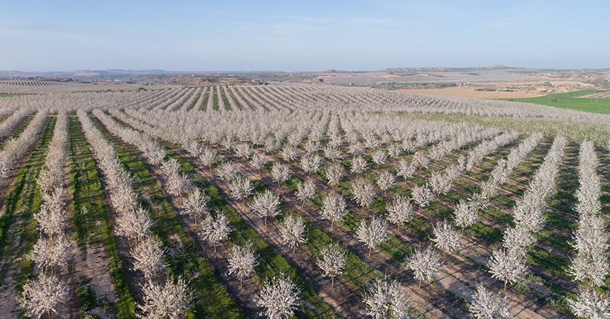 An almond orchard in California