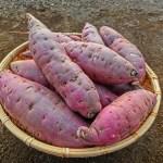 西山田農園でさつま芋掘り体験