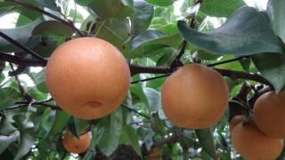 フルーツ王国やさかで梨狩り体験