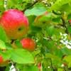 神戸市立フルーツフラワーパークで梨狩り、りんご狩り体験