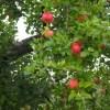 広島の果実の森公園でりんご狩り体験