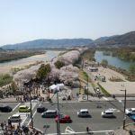背割れ桜に行ってきた!京都八幡市淀川河川公園背割堤展望台