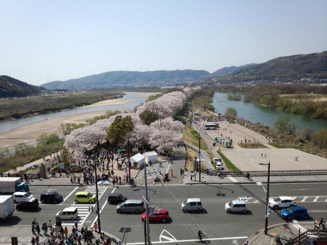 背割れ桜展望台からの桜