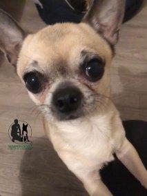 Semper-Dogz-educateur-canin-nantes-cholet---chihuahua-poils-ras