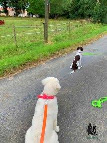 Semper-Dogz-éducateur-canin-Nantes-Cholet-Rita-golden-et-Galipette-chien-croisée