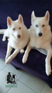 Semper-Dogz-educateur-canin-nantes-cholet-chiens-primitifs
