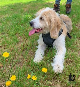 Semper-Dogz-&ducateur-canin-nantes-cholet-balade-éducative-Billy